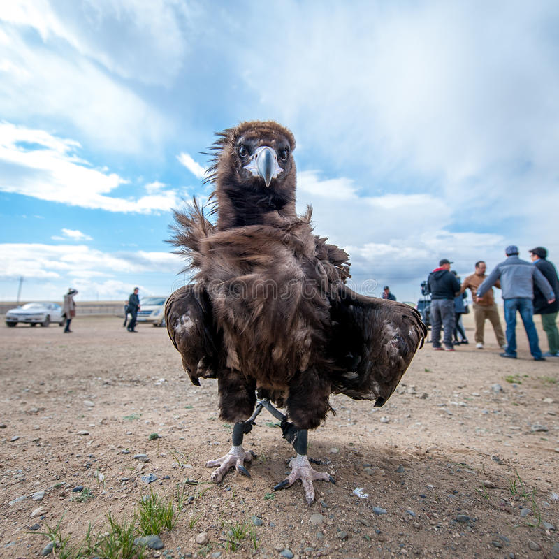 MONGOLIA - May 17, 2015: Specially trained eagle for hunting in mongolian desert near Ulaan-Baator. MONGOLIA - May 17, 2015: Specially trained eagle for hunting stock images