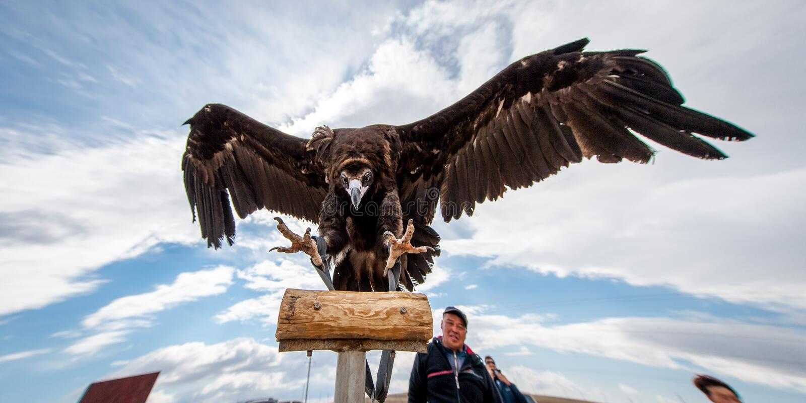 MONGOLIA - May 17, 2015: Specially trained eagle for hunting in mongolian desert near Ulaan-Baator. MONGOLIA - May 17, 2015: Specially trained eagle for hunting stock image