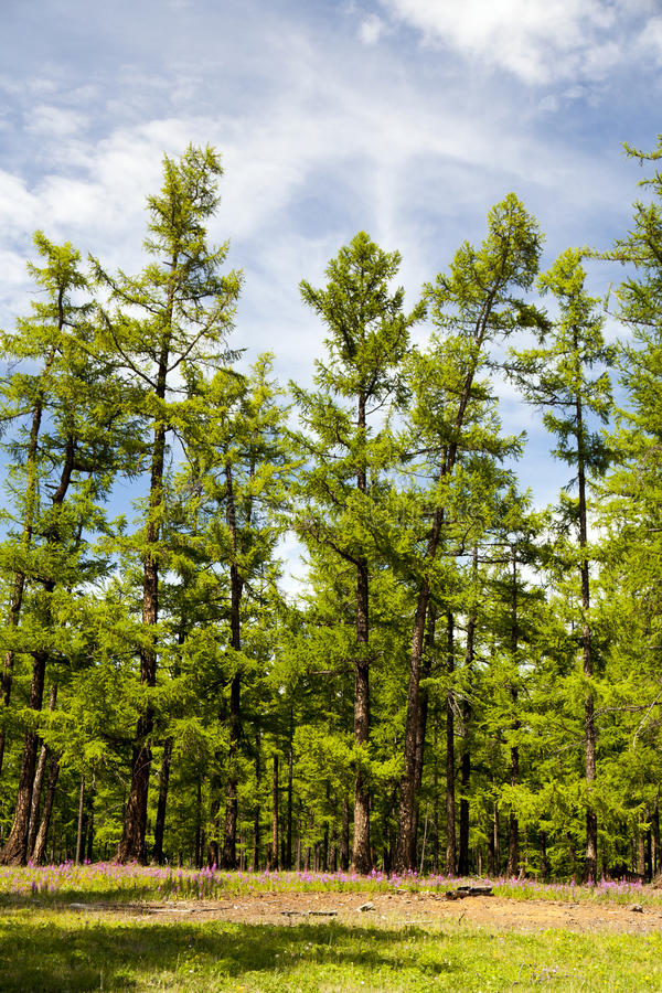 Free Mongolia S Northern Forests Stock Image - 36744461
