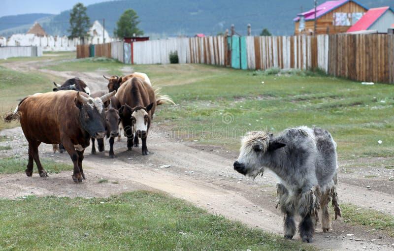 Mongolian cattle stock photography