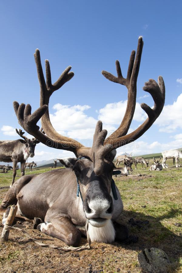 Mongolian Reindeer with big antlers. A large reindeer with even larger antlers rests at its home of the Tsaatan or Dukha people in northern Mongolia royalty free stock photos