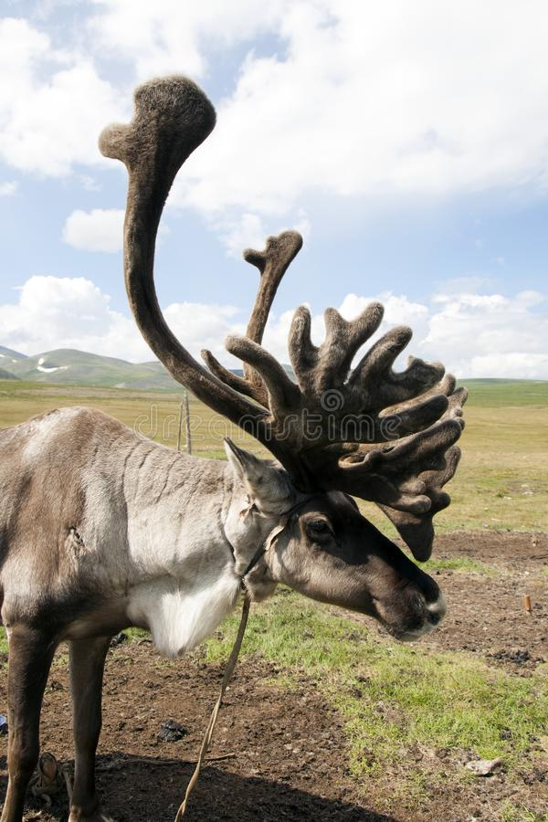 Mongolian Reindeer with big fuzzy antlers. A reindeer with soft and fuzzy antlers stands near its home of the Tsaatan or Dukha people in the high mountain royalty free stock images