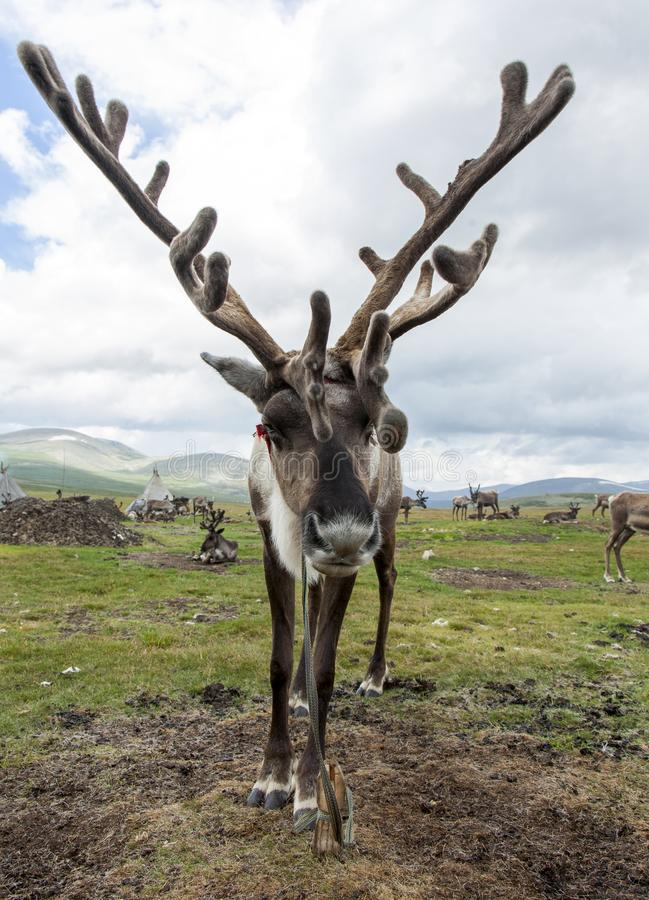 Mongolian reindeer in vast plains of northern Mongolia. A reindeer with soft and fuzzy antlers stands near its home of the Tsaatan or Dukha people in the high royalty free stock photography