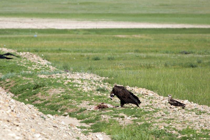 Mongolian Vulture Eating Roadkill