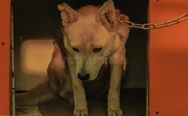 Mongolian winter sad dog royalty free stock images
