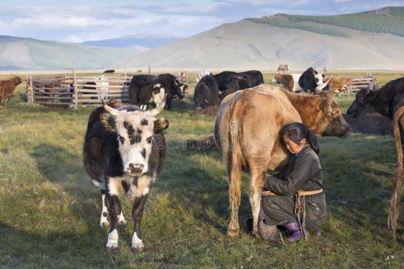 Mongolian woman milking a cow stock photos