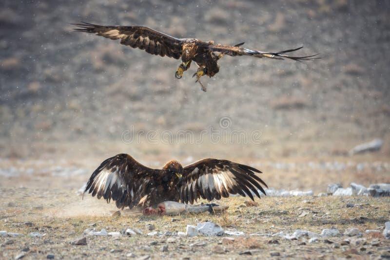 Mongoliet guld- Eagle Festival, traditionell jakt med Berkut Två stora Golden Eagles: En sitter på rovet, andra arkivbild