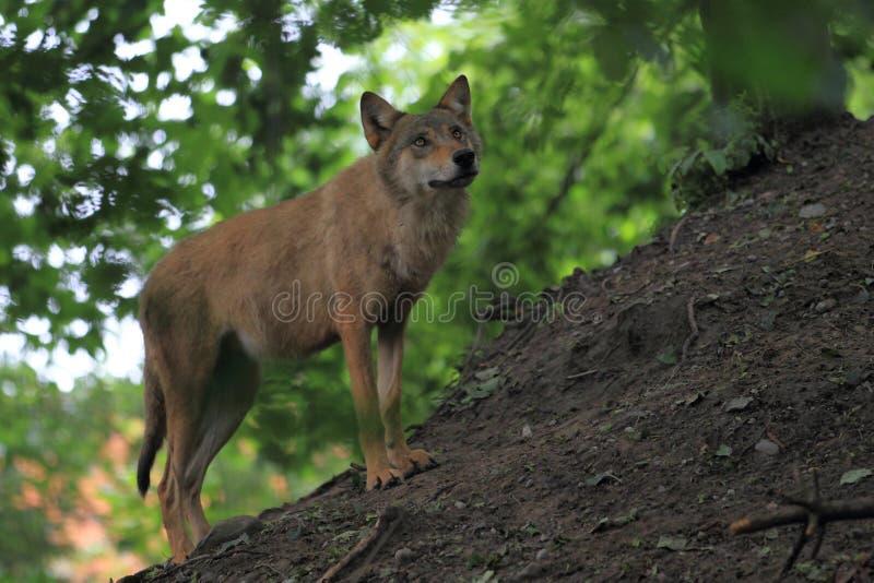 Mongolischer Wolf stockfotografie