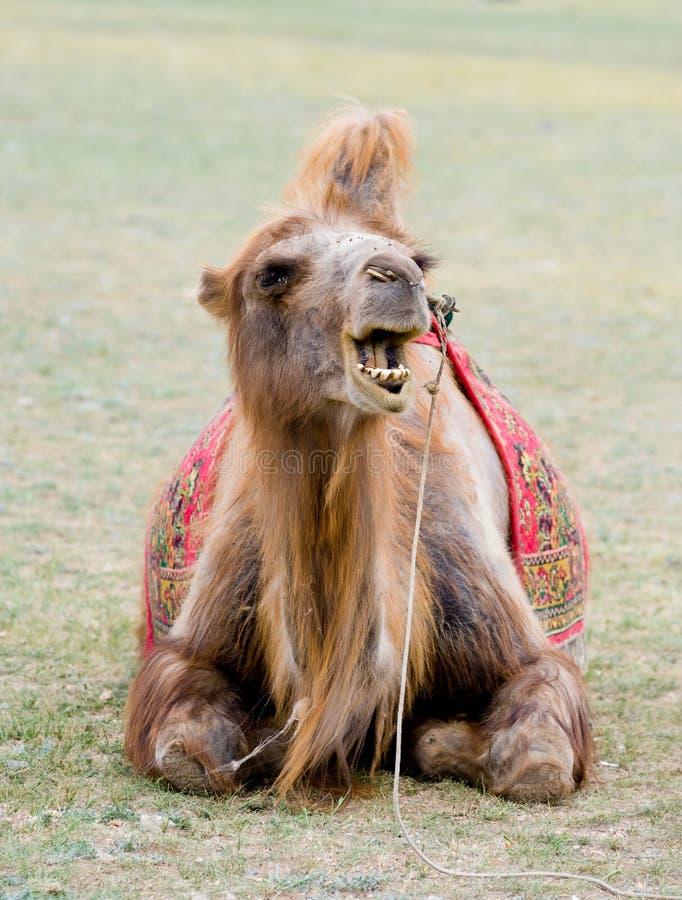 Mongolisches Kamel stockbild