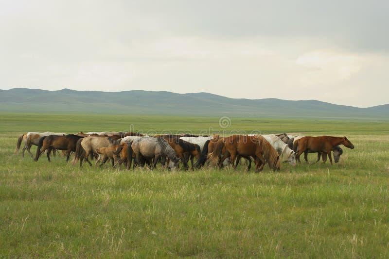 Mongoliska hästar arkivbild