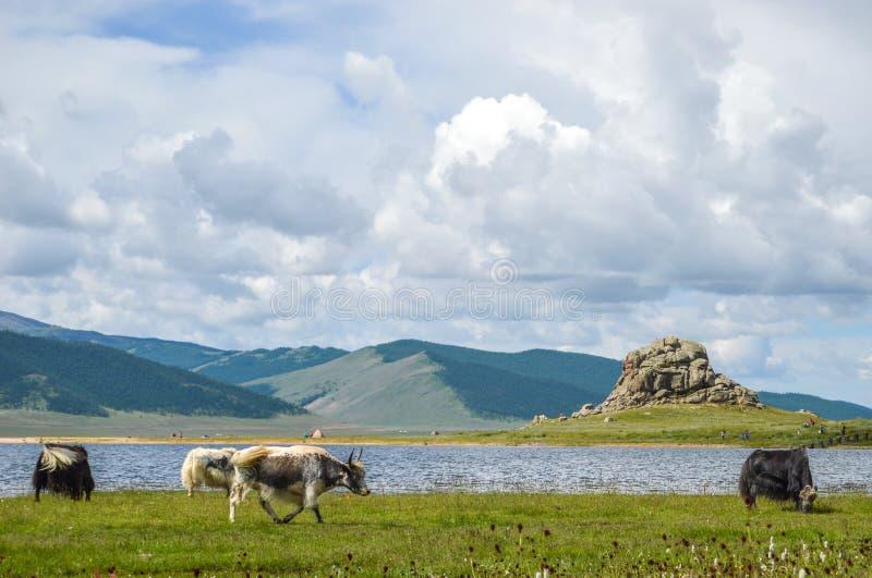 Mongoliska yaks som betar runt om den vita sjön arkivbilder