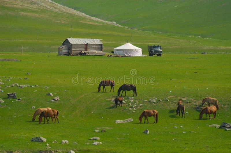Mongoliskt landskap med hästar och yurts royaltyfri bild