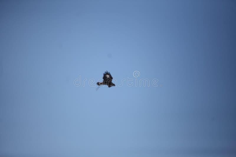 Mongolski Złotego Eagle latanie obraz stock