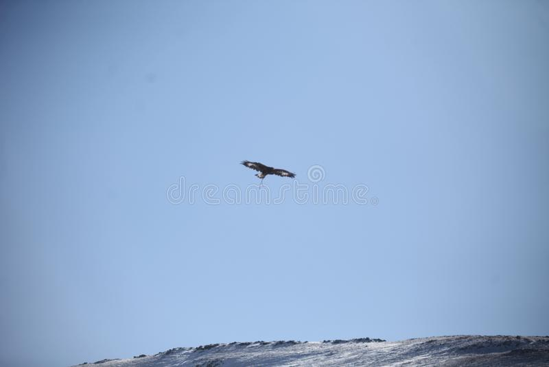 Mongolski Złotego Eagle latanie obrazy stock
