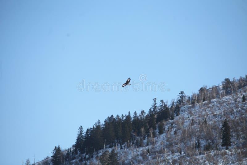 Mongolski Złotego Eagle latanie fotografia stock