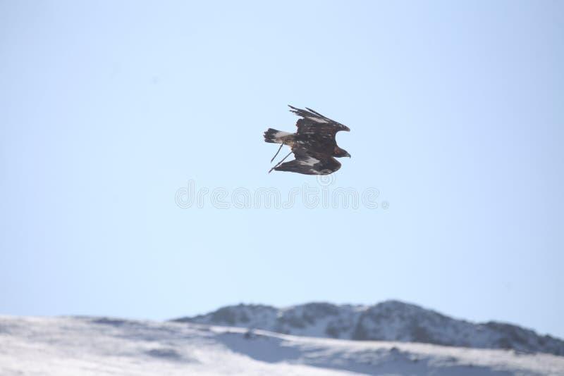 Mongolski Złotego Eagle latanie zdjęcia royalty free
