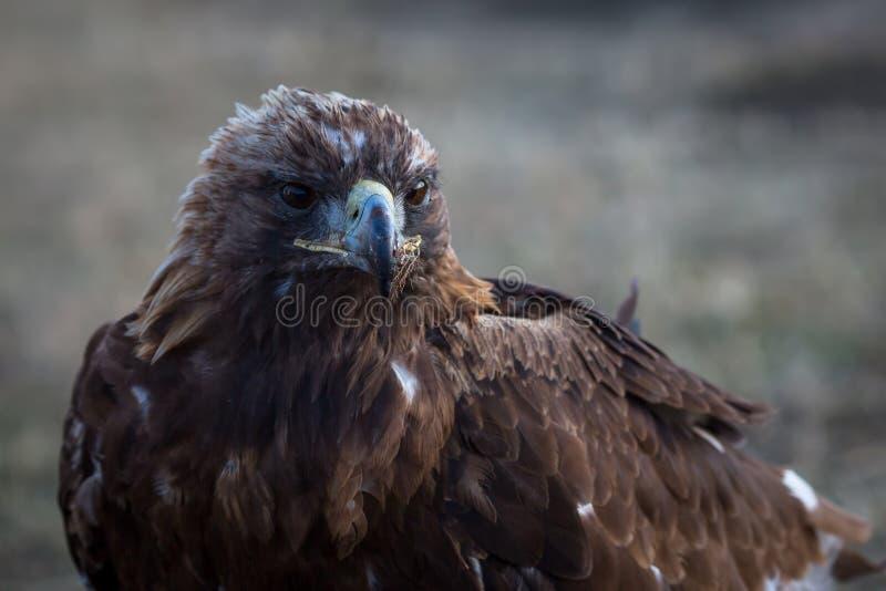 Mongools Gouden Eagle, close-up nave royalty-vrije stock fotografie