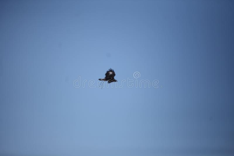 Mongools Gouden Eagle Flying stock fotografie