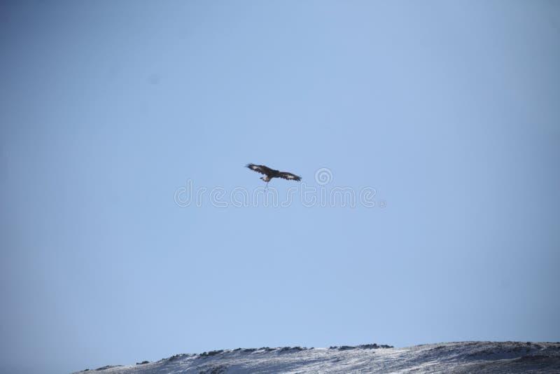 Mongools Gouden Eagle Flying stock afbeeldingen