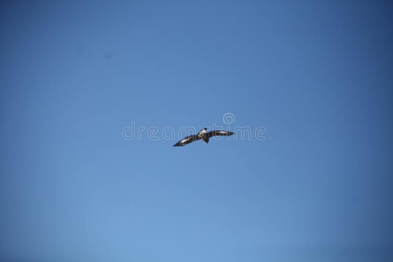 Mongools Gouden Eagle Flying stock afbeelding