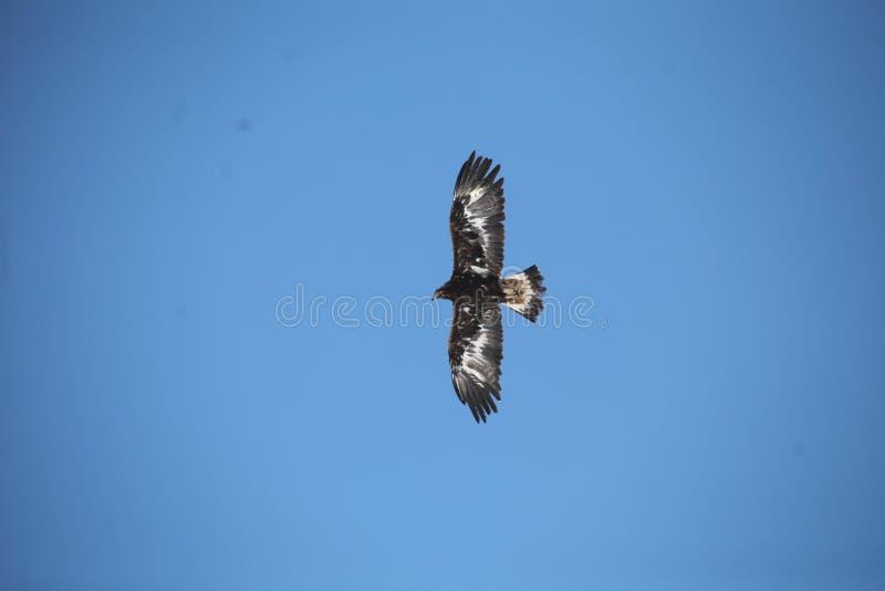 Mongools Gouden Eagle Flying royalty-vrije stock foto