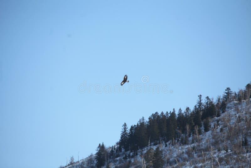 Mongools Gouden Eagle Flying stock foto's