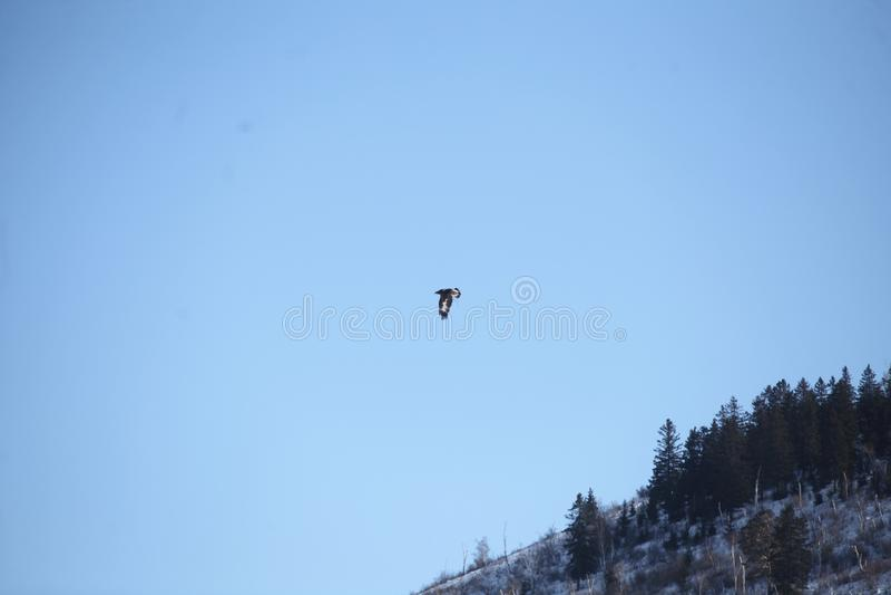 Mongools Gouden Eagle Flying royalty-vrije stock foto's