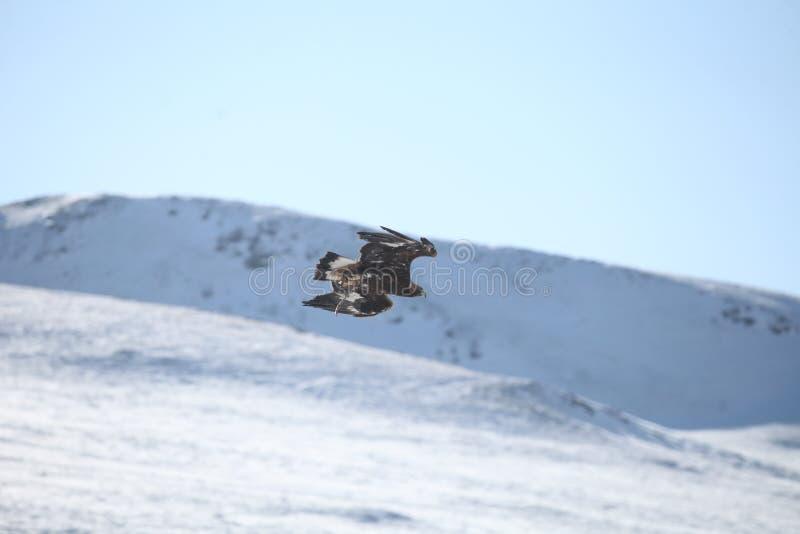 Mongools Gouden Eagle Flying royalty-vrije stock afbeelding