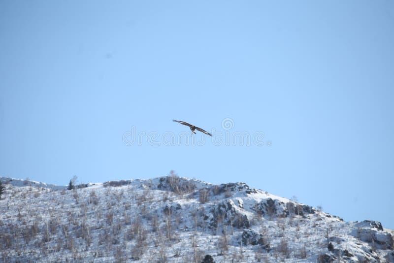 Mongools Gouden Eagle Flying royalty-vrije stock afbeeldingen