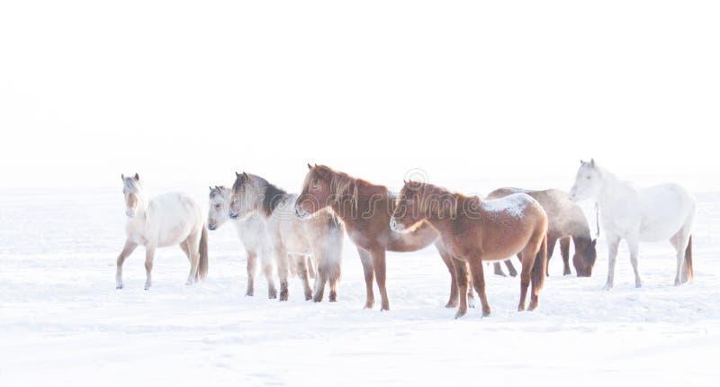 Mongools paard royalty-vrije stock foto