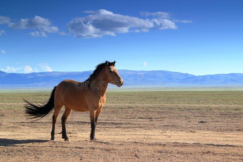 Mongools Paard royalty-vrije stock afbeeldingen