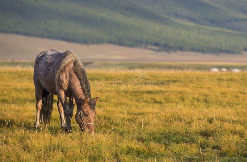 Mongools paard in een landschap van noordelijk Mongolië royalty-vrije stock foto