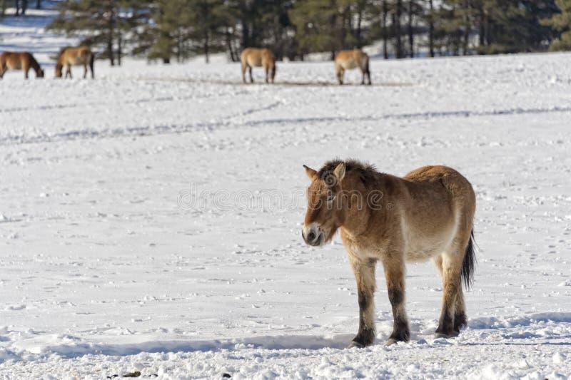 Mongools paard op sneeuw royalty-vrije stock afbeeldingen