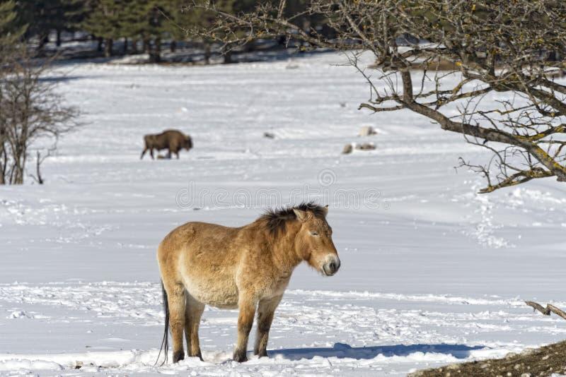 Mongools paard op sneeuw stock afbeelding