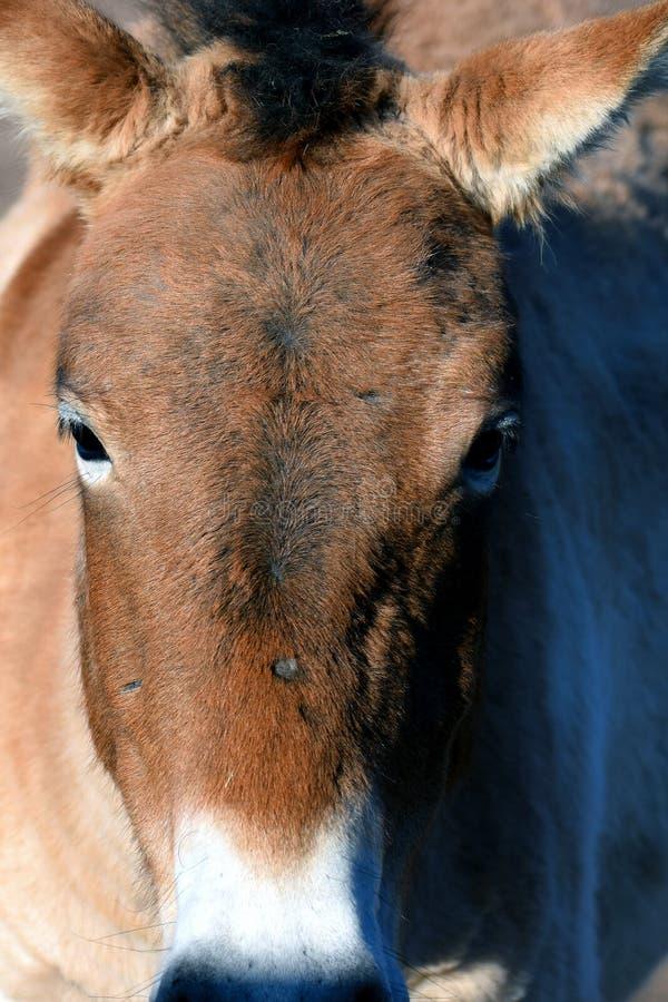 Mongools Wild paard royalty-vrije stock foto's