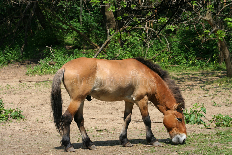 Mongools Wild paard royalty-vrije stock afbeeldingen