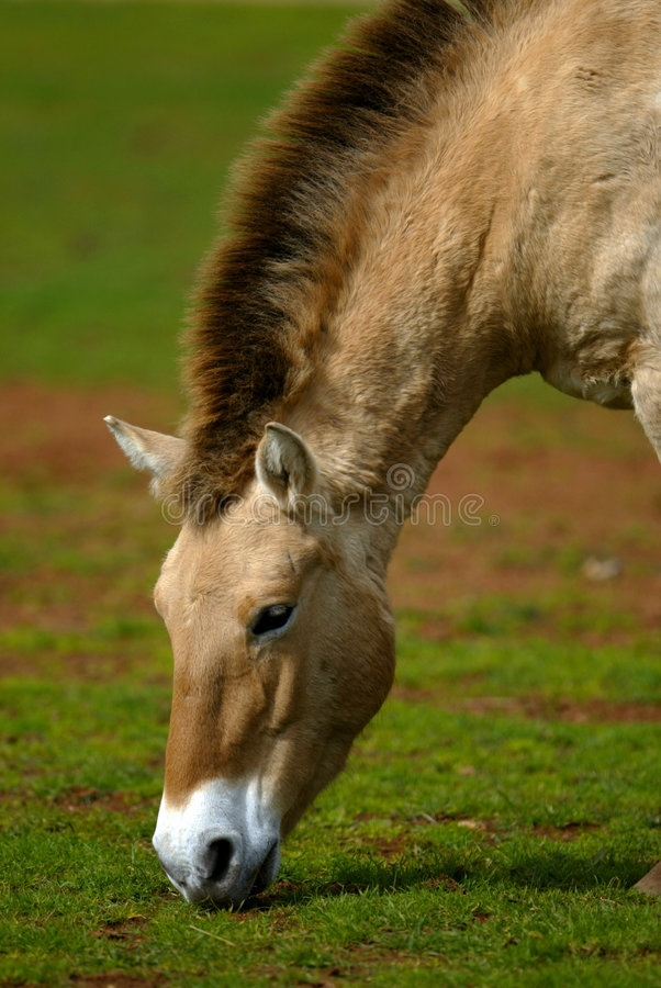 Mongools Wild paard stock afbeelding