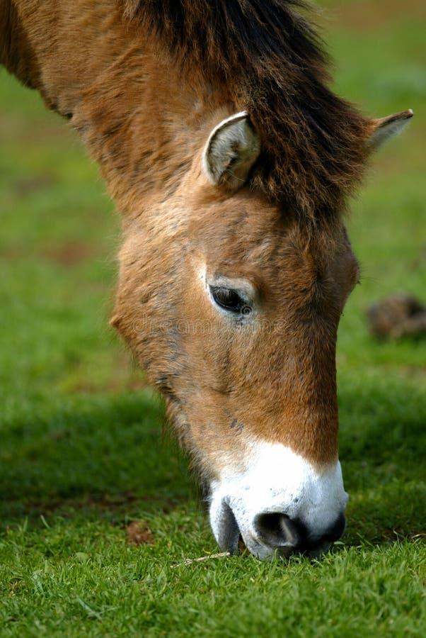 Mongools Wild paard royalty-vrije stock afbeelding