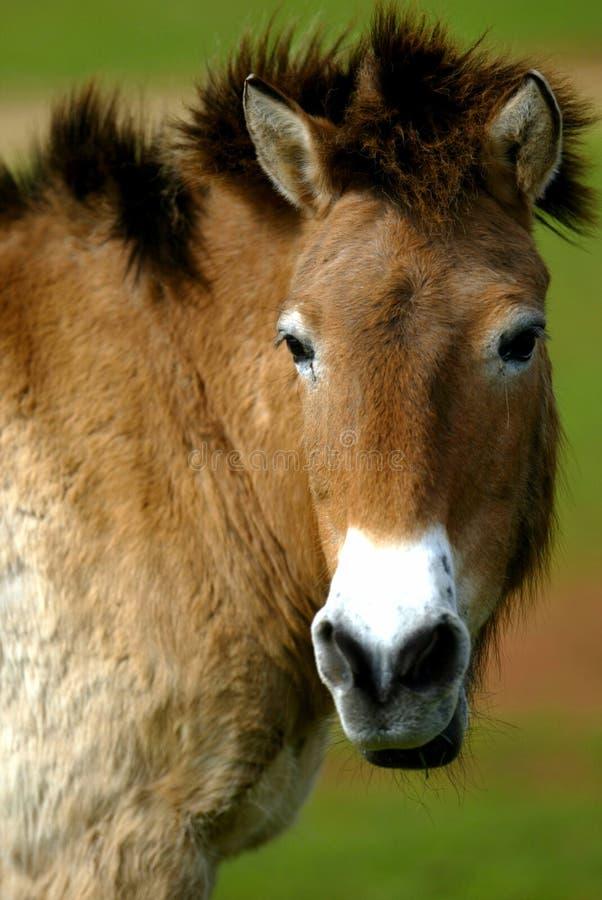 Mongools Wild paard stock fotografie