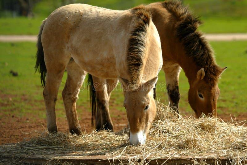 Mongools Wild paard stock afbeeldingen