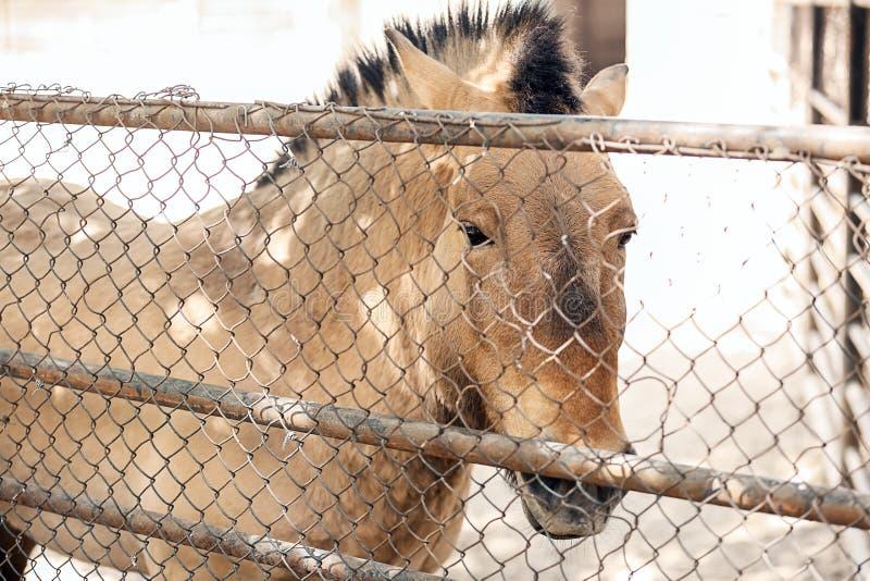 Mongools wild paard in zoölogische tuin stock afbeeldingen