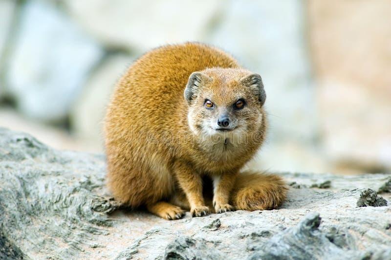 mongoose κίτρινο στοκ εικόνες