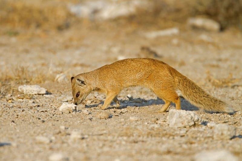 mongoose еды ища желтый цвет стоковые изображения rf