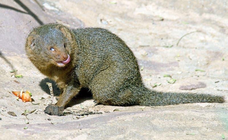 Mongoose 1 do anão foto de stock