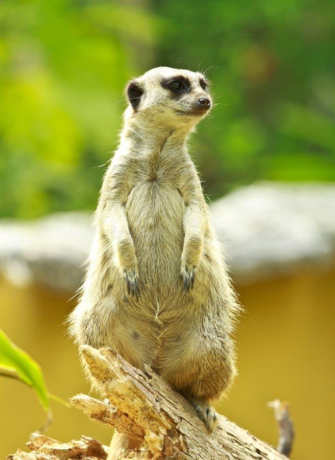 Free Mongoose Stock Photos - 14298213