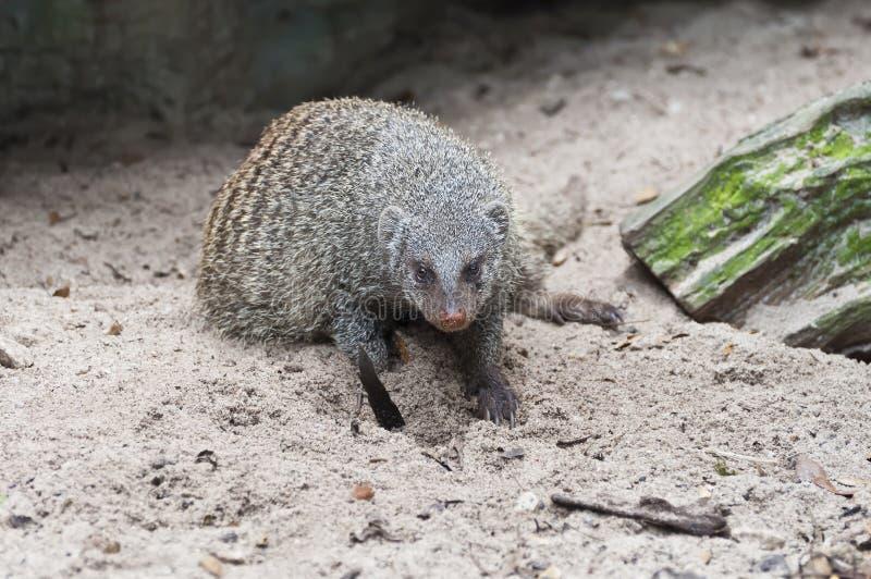 Mongoose imagens de stock