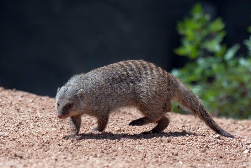 Download Mongoose stock photo. Image of portrait, grey, alert - 22680568