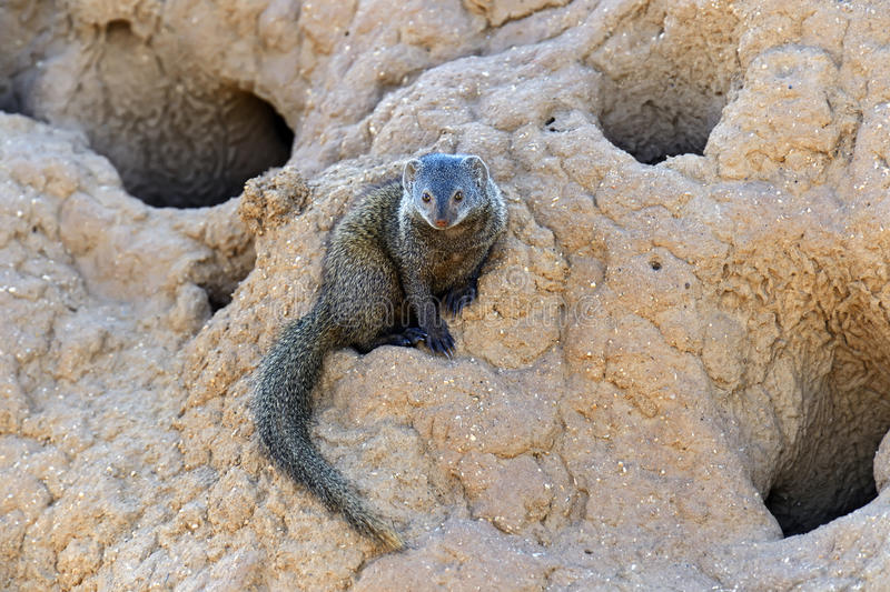 mongoose fotografie stock