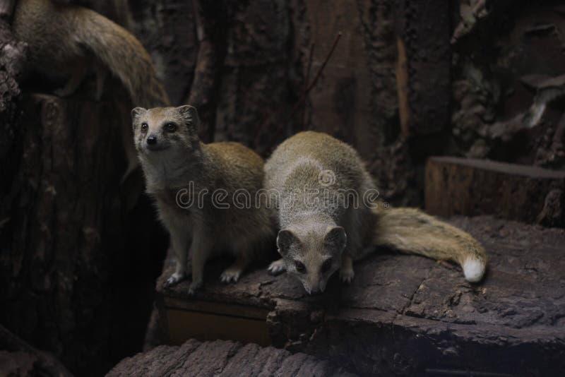 mongoose immagini stock