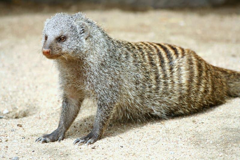 mongoose стоковые фото
